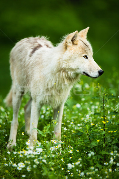 Arctic Wolf aka Polar Wolf or White Wolf  Stock photo © lightpoet
