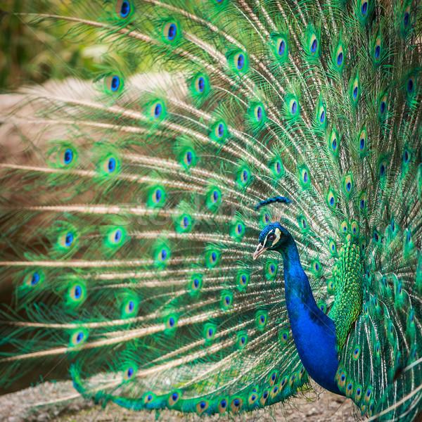 Splendid peacock with feathers out (Pavo cristatus) (shallow DOF Stock photo © lightpoet