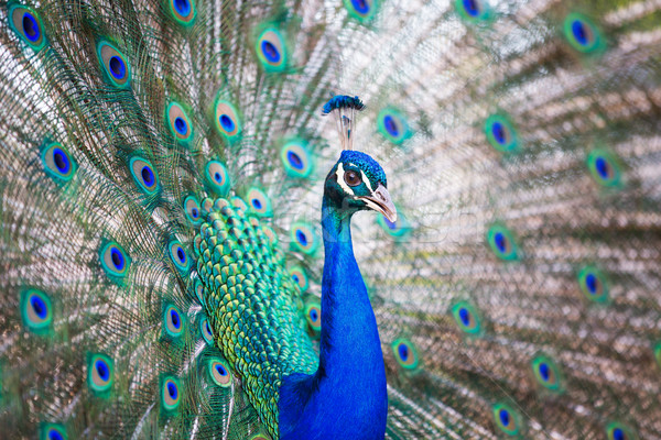 Splendid peacock with feathers out (Pavo cristatus) Stock photo © lightpoet
