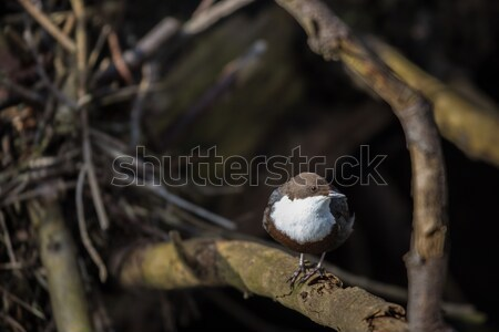 Cinclus cinclus, white-throated dipper in his natural habitat Stock photo © lightpoet