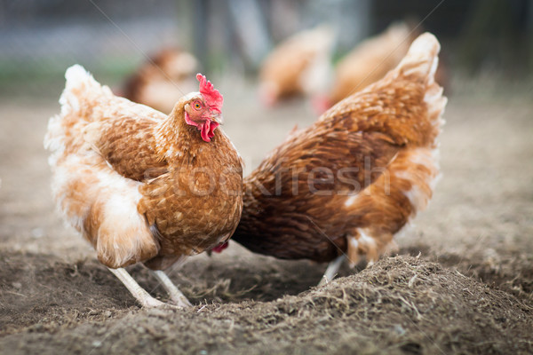 Closeup of a hen in a farmyard (Gallus gallus domesticus)  Stock photo © lightpoet