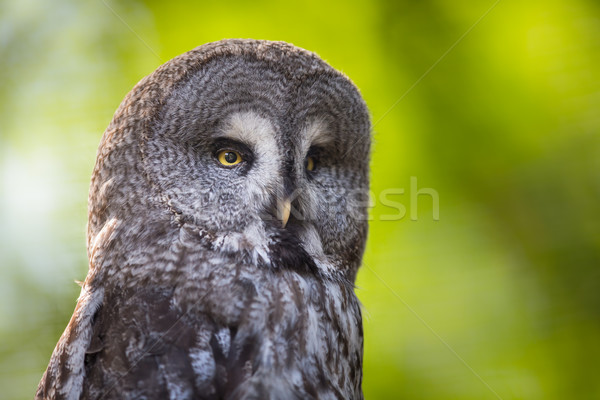 Close up of a Tawny Owl (Strix aluco) in woods Stock photo © lightpoet