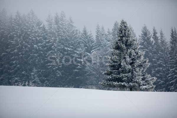 Stock photo:  Winter forest - trees covered with snow