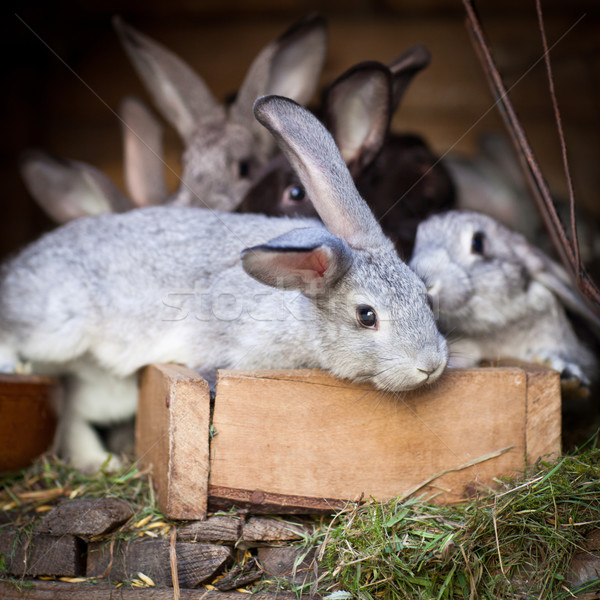 Jovem coelhos fora europeu rabino primavera Foto stock © lightpoet