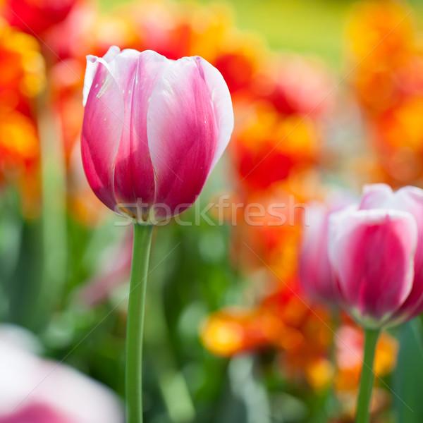 Belo florescimento tulipa flores primavera luz do sol Foto stock © lightpoet