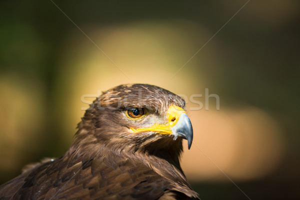 Stock photo: Steppe eagle