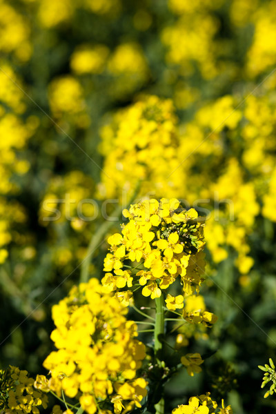 Colza (Brassica rapa) Stock photo © lightpoet