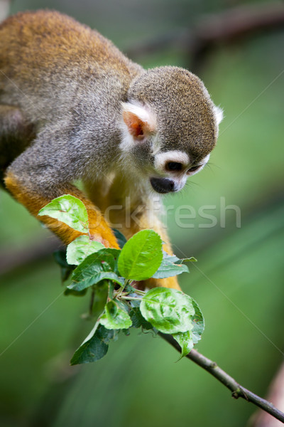Stock photo: Close-up of a Common Squirrel Monkey