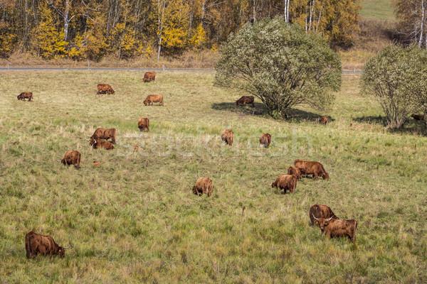 Foto d'archivio: Vacche · prato · foresta · campo · verde