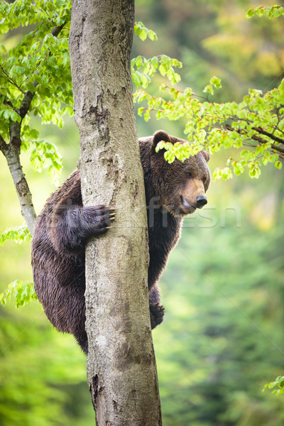 Bruine beer klimmen boom zonsopgang portret zwarte Stockfoto © lightpoet