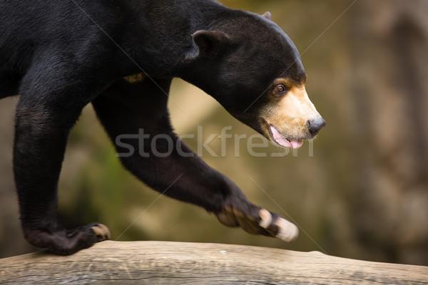 Sun Bear (Helarctos malayanus) Stock photo © lightpoet