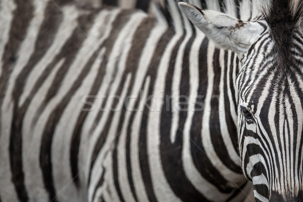 Zebra - close-up view with accent on the unique skin pattern we  Stock photo © lightpoet