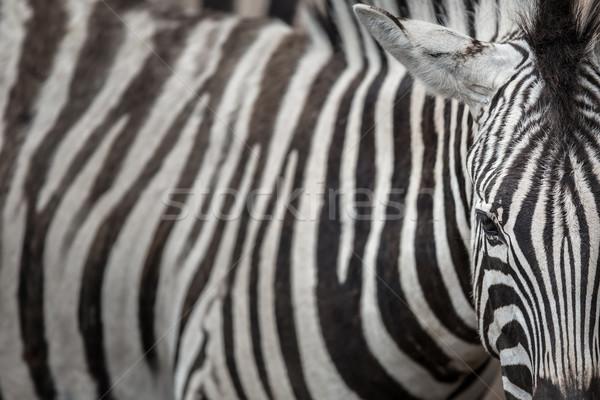 Cebra primer plano vista piel patrón Foto stock © lightpoet