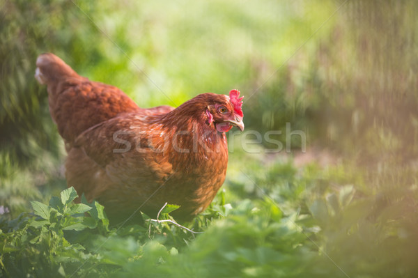 Closeup of a hen in a farmyard Stock photo © lightpoet