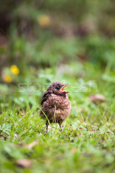 クローズアップ 赤ちゃん クロウタドリ 春 眼 自然 ストックフォト © lightpoet