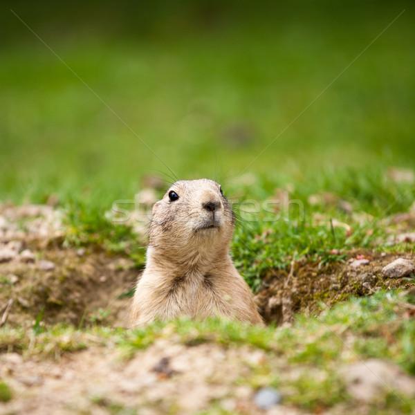 Cute noir prairie chien soleil travail Photo stock © lightpoet