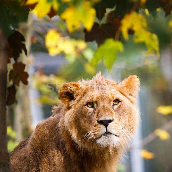 Közelkép portré fenséges szemek háttér oroszlán Stock fotó © lightpoet
