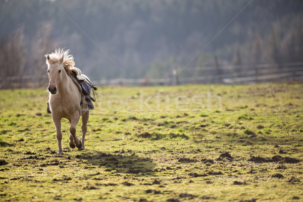 Beautiful, saddled horse galloping towards you Stock photo © lightpoet