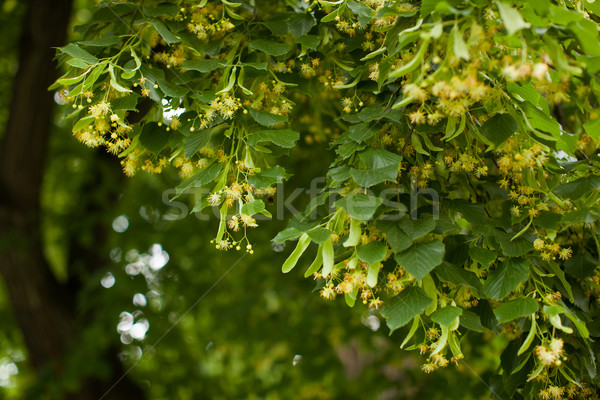 Blooming linden, lime tree in bloom Stock photo © lightpoet