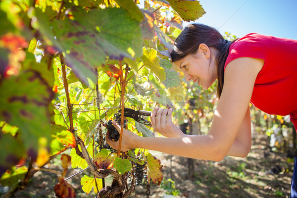 Grapes in a vineyard being harvested by a female vintner (color  Stock photo © lightpoet
