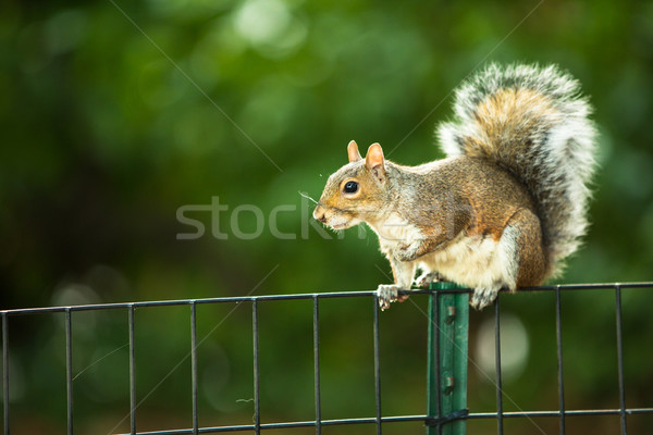 Stock photo: Eastern Grey Squirrel (Sciurus carolinensis)