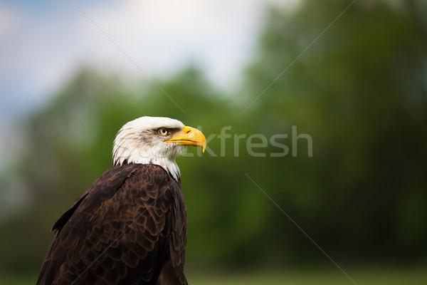Portret trots majestueus amerikaanse kaal adelaar Stockfoto © lightpoet
