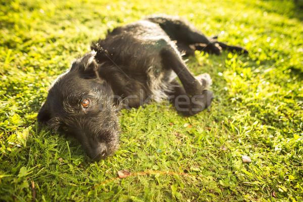Photo stock: Cute · chien · herbe · fin · après-midi · soleil