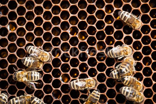 макроса выстрел пчел соты саду кадр Сток-фото © lightpoet