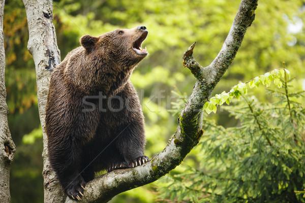 Brown bear (Ursus arctos), sitting on a tree, screaming loudly Stock photo © lightpoet