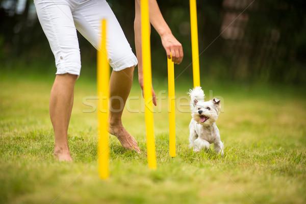 Cute little dog doing agility drill - running slalom Stock photo © lightpoet