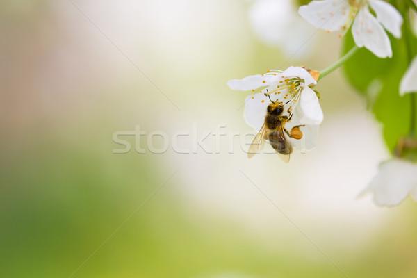 Honey bee enjoying blossoming cherry tree on a lovely spring day Stock photo © lightpoet