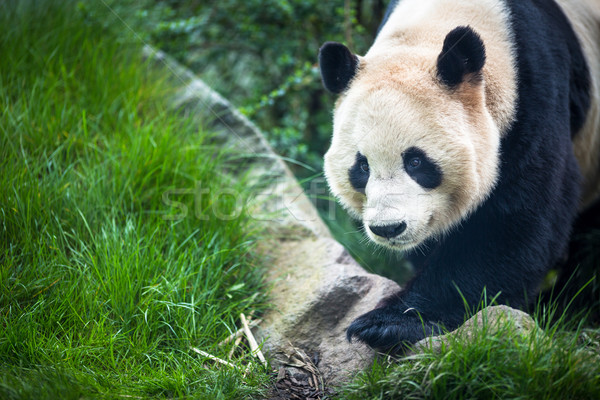Giant panda (Ailuropoda melanoleuca) Stock photo © lightpoet