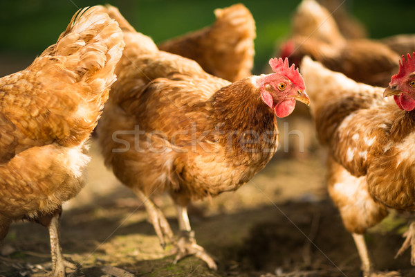 Hen in a farmyard  Stock photo © lightpoet