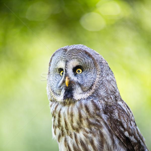 Close up of a Tawny Owl (Strix aluco) in woods Stock photo © lightpoet