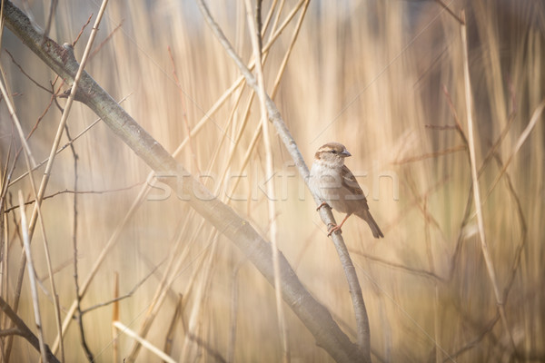 дома воробей птица животного мужчины филиала Сток-фото © lightpoet
