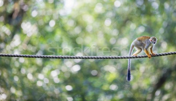 écureuil singe peu profond forêt yeux Photo stock © lightpoet