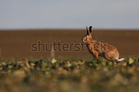 Stock photo: Brown hare (lepus europaeus)
