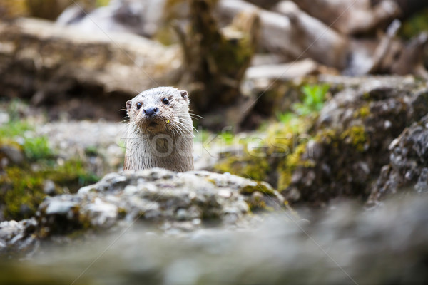 Stock photo: Eurasian otter (Lutra lutra)