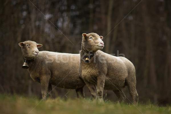 Moutons vert domaine Suisse herbe Photo stock © lightpoet