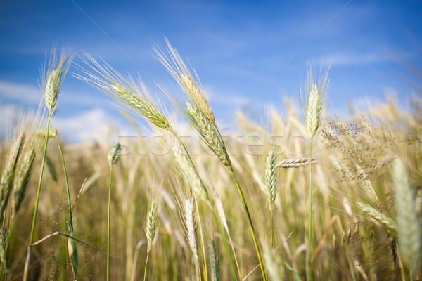 Ears of almost ripe barley growing in a farm field  Stock photo © lightpoet