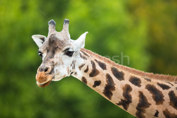 Giraffe (Giraffa camelopardalis) Stock photo © lightpoet