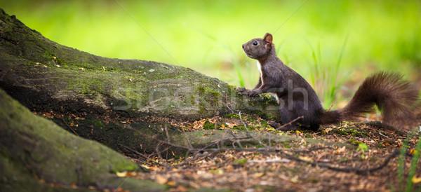 Closeup of a red squirrel (Sciurus vulgaris) Stock photo © lightpoet