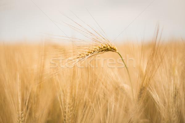 Dojrzały jęczmień charakter krajobraz owoców gospodarstwa Zdjęcia stock © lightpoet