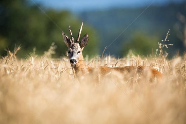 Ahşap alan buğday mısır bakmak çayır Stok fotoğraf © lightpoet