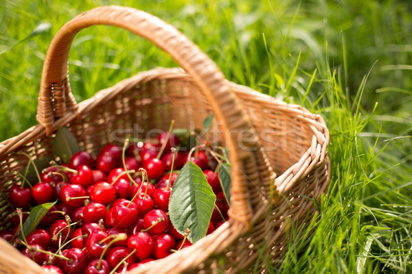 Freshly picked cherries in a basket in the garden Stock photo © lightpoet