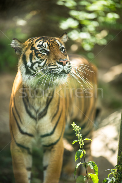 Stock photo: Closeup of a Siberian tiger also know as Amur tiger