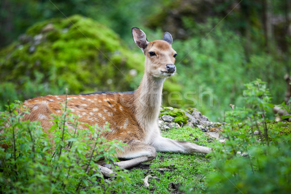 sika deer (lat. Cervus nippon) doe Stock photo © lightpoet