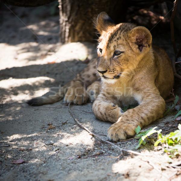かわいい ライオン カブ 世界 戻る 公園 ストックフォト © lightpoet