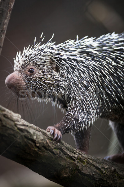Close-up of a cute Brazilian Porcupine (Coendou prehensilis; sha Stock photo © lightpoet