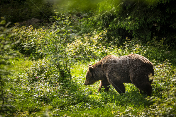 Bruine beer boom achtergrond zonsopgang beer dier Stockfoto © lightpoet